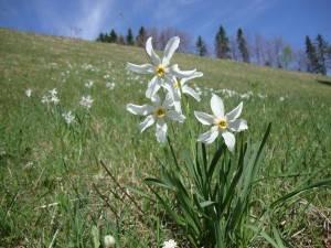 Alpenrose in het voorjaar